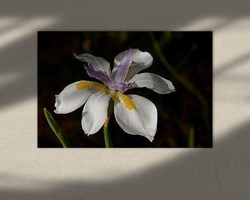Iris bloem van Arne Hendriks
