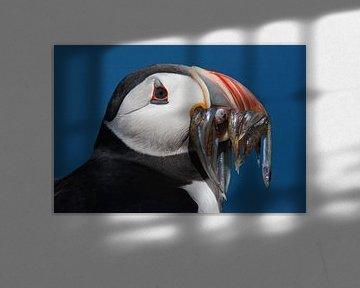 Papegaaiduiker von Desiree Tibosch
