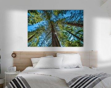 Metasequoia tegen een strakblauwe lucht