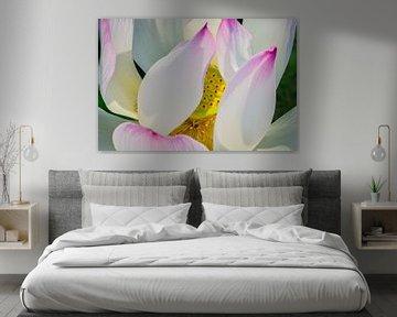 'Lotus Flower in full bloom'