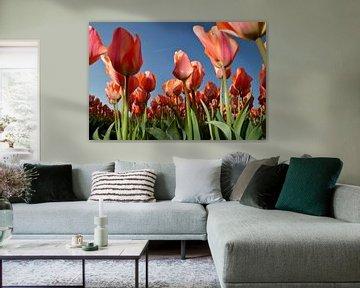 Rode Tulpen - Holland