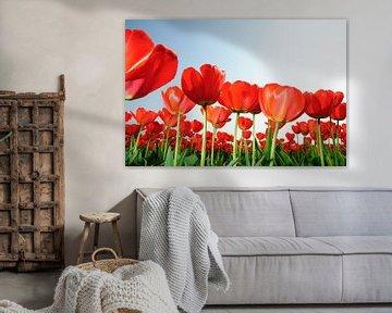 Rode Tulpen Holland