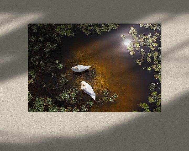 Impression: Zwei Schwäne mit Spiegelung der Sonne im flachen Wasser sur Jan Brons