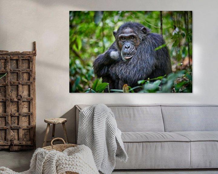Sfeerimpressie: Schimpanse, Pan troglodytes van Jürgen Ritterbach
