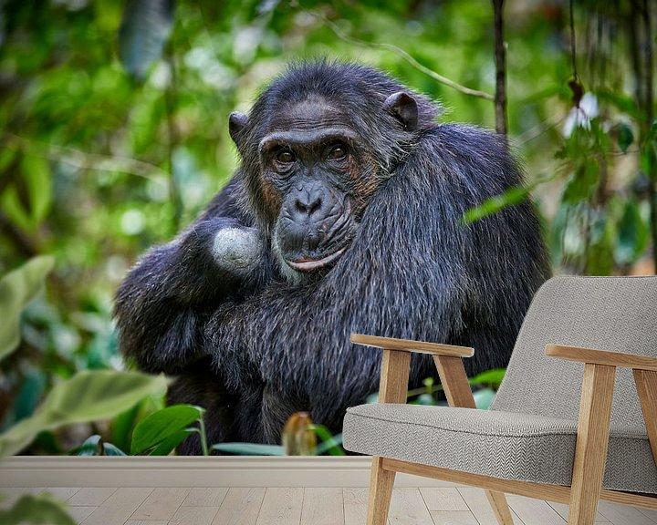 Sfeerimpressie behang: Schimpanse, Pan troglodytes van Jürgen Ritterbach