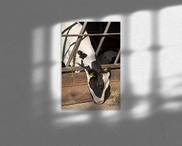 Jonge melkkoe in een stal van Tonko Oosterink