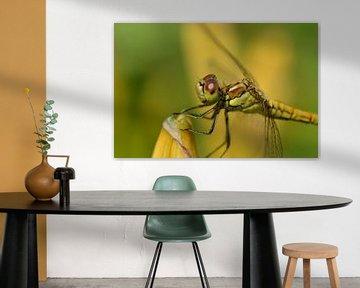 Libelle voll in Farbe von Gerben van den Hazel