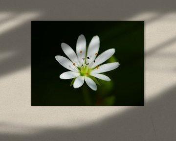 Blossom of a strawberry 1