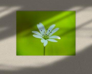 Blossom of a strawberry 2