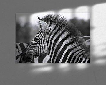Young Zebra - Africa wildlife, black and white van W. Woyke