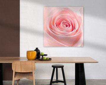 Roze roos closeup von Giovanni de Deugd