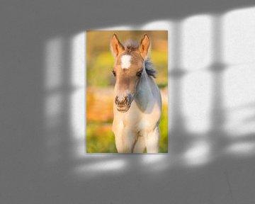 Paarden | Konikpaard veulen in het warme avondlicht van Servan Ott