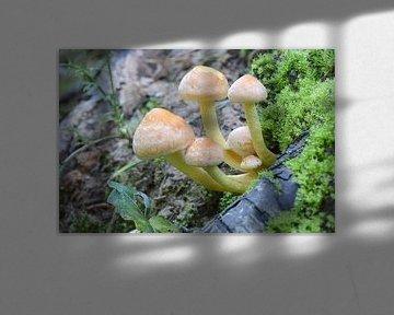 Paddestoel Hypholoma fascicularis von Tonko Oosterink