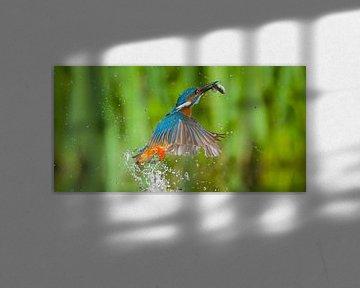 IJsvogel - Hebbus! panoramaformaat van IJsvogels.nl - Corné van Oosterhout