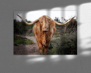 Scottish Highlander in den Dünen von Fotografie Egmond