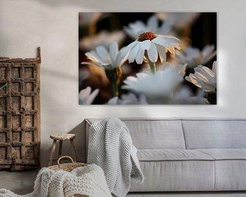 white marguerite van Meleah Fotografie