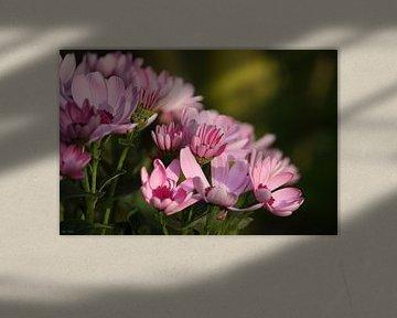 Pink marguerite van Meleah Fotografie