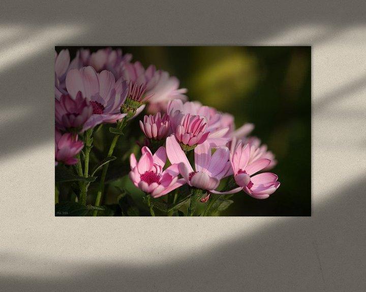 Impression: rosa Margheriten sur Meleah Fotografie