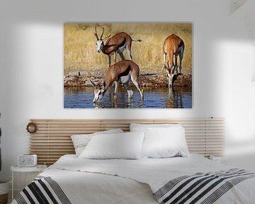 Drinking springboks, Africa wildlife van W. Woyke