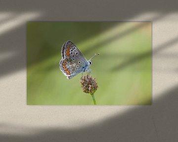 Macrofoto van een mooie vlinder van Maurice de vries