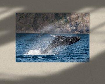 Springende bultrug walvis in Alaska
