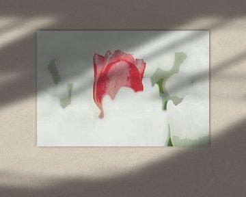 Rode tulp in een wit veld sur Franke de Jong