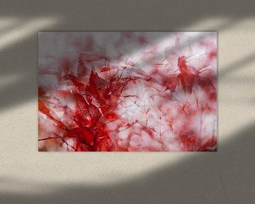 Japanse esdoorn, een rood wonder van Margo Schoote