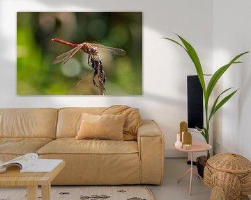 Steenrode heidelibel von Hilda Weges