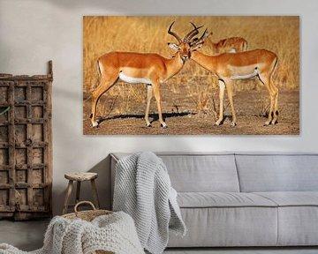Friendship, Impalas, Africa wildlife van W. Woyke