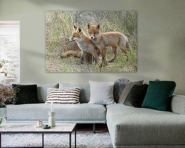 twee jongen vossen von Menno Schaefer