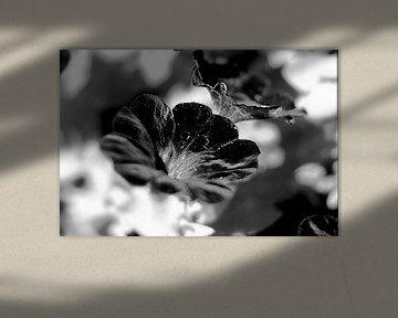 Schwarze Blume von Marianna Pobedimova