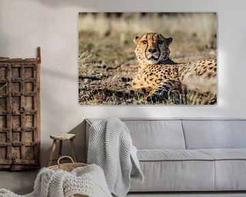 Cheetah gespot!  sur Sander RB