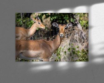 Het oogcontact met een impala van Sander RB