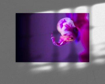 Rosa/violette Schmetterlingsorchidee 2 von de buurtfotograaf Leontien