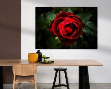 Bloem, roze, struik Roses II. van Norbert Sülzner