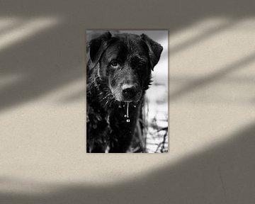 Een zwarte labrador in het water aan het genieten in zwart wit von noeky1980 photography