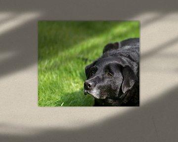 Geduldig wachten op wat komen gaat deze afwachtende zwarte hond lekker in de zon liggen
