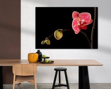 orchidee von Caroline van Sambeeck