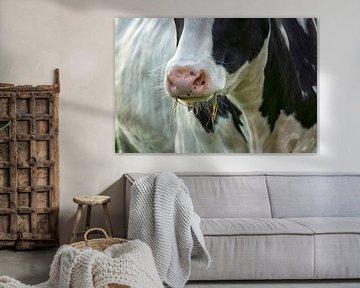 Koe aan het gras eten