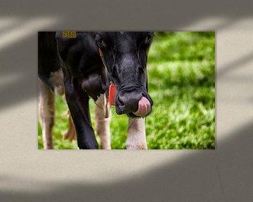 Holsteiner koe likt zich om de bek van Jan Sportel Photography