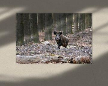 Wild zwijn op de Veluwe von Roy Zonnenberg