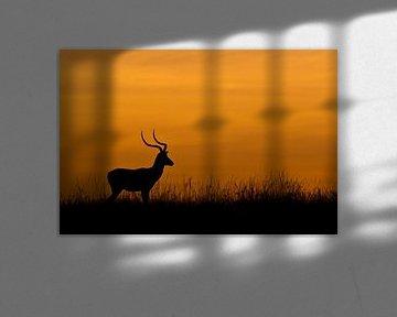 Impala in grasland bij zonsopkomst