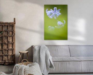 Close up van hyacint