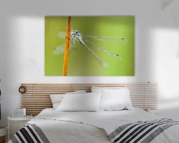 Gewone pantserjuffer (Lestes sponsa) op rietstengel