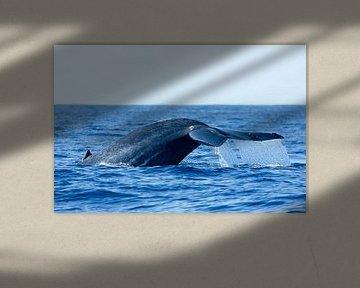 Walvisstaart in Sri Lanka van Gijs de Kruijf