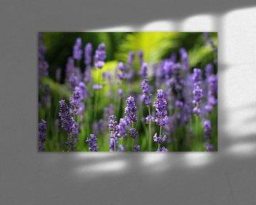 Zauberhafter Lavendel von Ostsee Bilder
