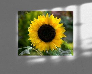 een gele zonnebloem von Compuinfoto .