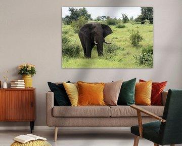 big elephant in kruger park