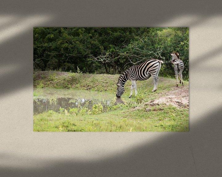 Sfeerimpressie: zebra drinking water van Compuinfoto .