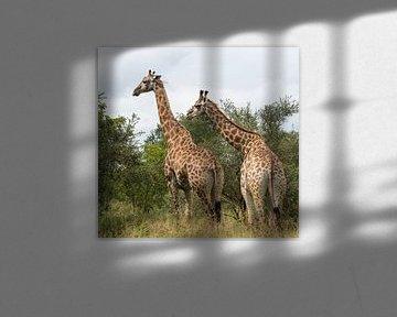 giraffes in south africa sur ChrisWillemsen
